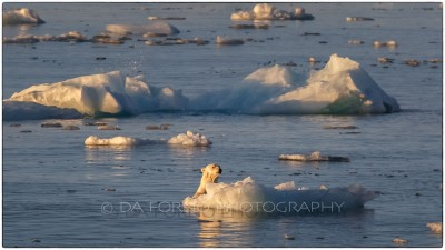 Svalbard - Austfonna - The polar bear (Ursus maritimus) - Canon EOS  7D II / EF 400mm f/2.8 L IS II USM