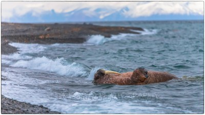 Svalbard - Moffen - Walrus (Odobenus rosmarus) relaxing on water - Canon EOS  5D III / EF 70-200mm f/2.8 L IS II USM + 1.4x III