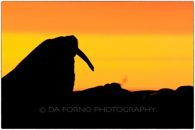 Svalbard -Moffen - Walrus (Odobenus rosmarus) on Sunset - Canon EOS  7D II / EF 400mm f/2.8 L IS II USM