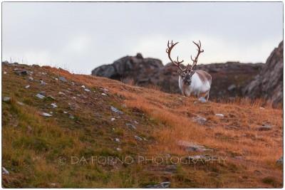 Svalbard - Reindeer (Rangifer tarandus) - Canon EOS  5D III / EF 70-200mm f/2.8 L IS II USM + 1.4x III