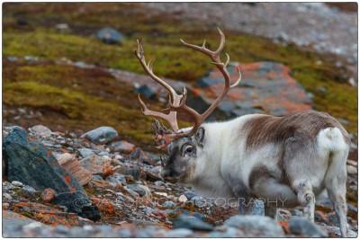 Svalbard - Reindeer (Rangifer tarandus) - Canon EOS  7D II / EF 400mm f/2.8 L IS II USM