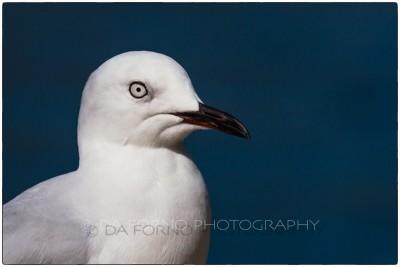 New Zealand - Queenstown - Silver Gull (Chroicocephalus novaehollandiae) - EOS 7D - EF 70-200mm f/2,8 L IS USM