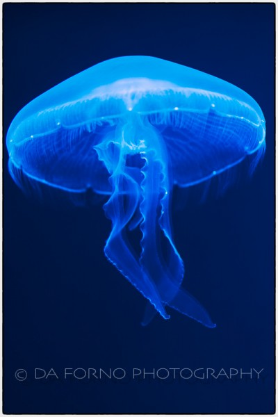 Common jellyfish (Aurelia aurita) - Canon EOS 7D / EF 100mm f/2,8 L Macro IS USM