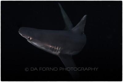 Sandbar shark (Carcharhinus plumbeus) - Canon EOS 5D II / EF 16-35mm f/2,8 L USM