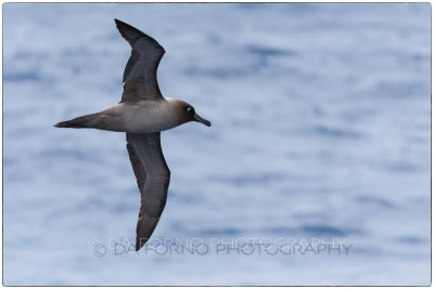 Antarctica - Light-mantled albatross (Phoebetria palpebrata) - Canon EOS 5D III / EF 70-200mm f/2.8 L IS II USM +2.0x III