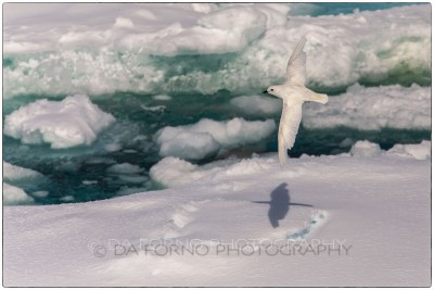 Antarctica - Snow petrel ( Pagodroma nivea) - Canon EOS 5D III / EF 70-200mm f/2.8 L IS II USM +2.0x III