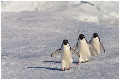 Antarctica - Adeli penguin (Pygoscelis adeliae) - Canon EOS 5D III / EF 70-200mm f/2.8 L IS II USM +2.0x III