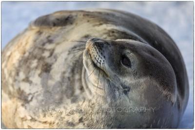 Antarctica - Weddell seal  (Leptonychotes weddellii) - Canon EOS 5D III / EF 70-200mm f/2.8 L IS II USM +2.0x III