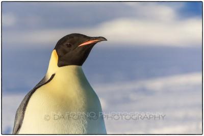 Antarctica - The emperor penguin (Aptenodytes forsteri) - Canon EOS 5D III / EF 70-200mm f/2.8 L IS II USM +2.0x III