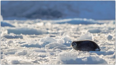 Svalbard - ringed seal (Pusa hispida) - Canon EOS  7D II / EF 400mm f/2.8 L IS II USM