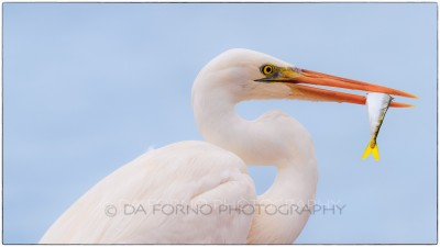 Miami - Key West - Great Egret (Casmerodius albus) eating a fish - Canon EOS 7D - EF 70-200mm f/2,8 L IS II USM