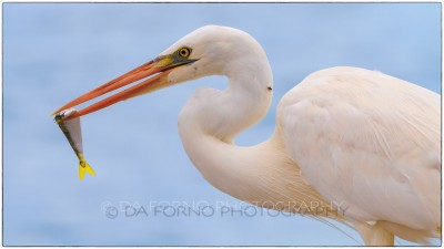 Miami - Key West - Great Egret (Casmerodius albus) playing with a fish - Canon EOS 7D - EF 70-200mm f/2,8 L IS II USM
