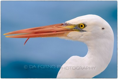 Miami - Key West - Great Egret (Casmerodius albus) - Canon EOS 7D - EF 70-200mm f/2,8 L IS II USM