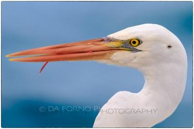 Miami - Key West - Great Egret (Casmerodius albus) - Canon EOS 7D - EF 70-200mm f/2,8 L IS II USM