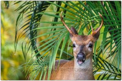 Miami - Keys - Key deer (Odocoileus virginianus clavium) - Canon EOS 7D - EF 70-200mm f/2,8 L IS II USM