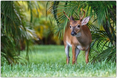 Miami - Keys - Key deer (Odocoileus virginianus clavium) - Canon EOS 7D - EF 70-200mm f/2,8 L IS II USM