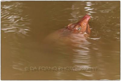 Miami - Everglades - Softshell turtle (Apalone ferox) - Canon EOS 7D - EF 70-200mm f/2,8 L IS II USM +1,4x