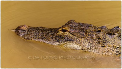 Miami - Everglades - American alligator (Alligator mississippiensis) - Canon EOS 7D - EF 70-200mm f/2,8 L IS II USM +1,4x