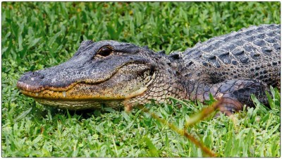 Miami - Everglades - American alligator (Alligator mississippiensis) - Canon EOS 7D - EF 70-200mm f/2,8 L IS II USM +1,4x