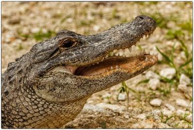 Miami - Everglades - American alligator (Alligator mississippiensis) - Canon EOS 7D - EF 70-200mm f/2,8 L IS II USM + 1,4x