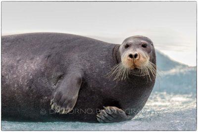 Svalbard - Bearded seal (Erignathus barbatus)