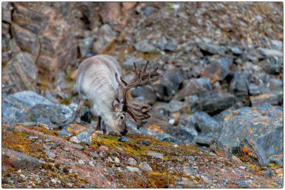 Svalbard - Polar reindeer (Rangier tarandus)