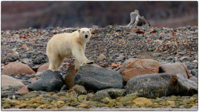 Svalbard - Polar bear (Ursus maritimus)