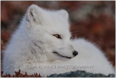 Svalbard - Polar fox (Vulpes lagopus)